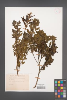 Chamaecytisus hirsutus [KOR 25813]