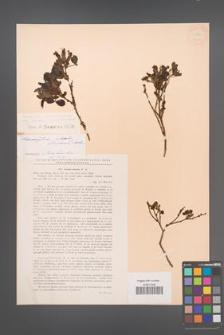 Chamaecytisus hirsutus [KOR 12688]