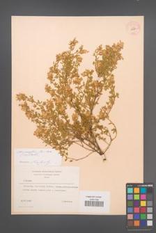 Chamaecytisus jankae [KOR 54584]