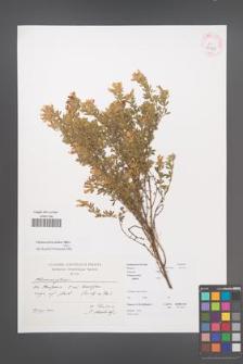 Chamaecytisus jankae [KOR 43138]