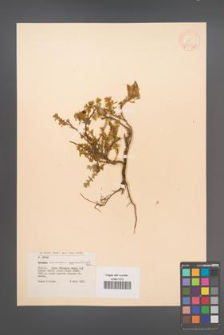 Chamaecytisus pygmaeus [KOR 12675]