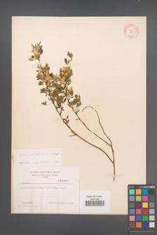Cytisus ratisbonensis [KOR 3837]
