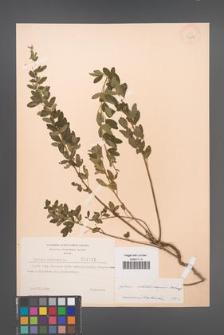 Cytisus ratisbonensis [KOR 2162]