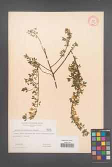Cytisus ratisbonensis [KOR 4245]