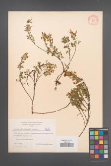 Cytisus ratisbonensis [KOR 4234]