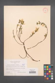 Cytisus ratisbonensis [KOR 4235]