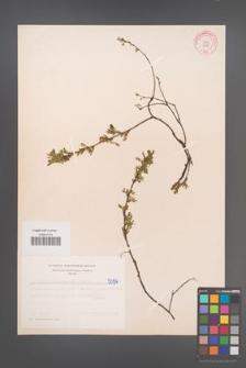 Cytisus ratisbonensis [KOR 5096]