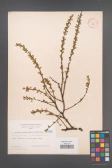 Cytisus ratisbonensis [KOR 5099]