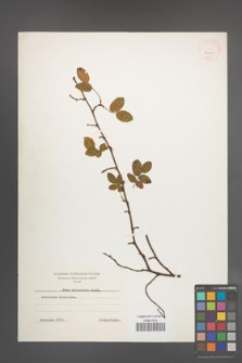 Rosa acicularis [KOR 36405]