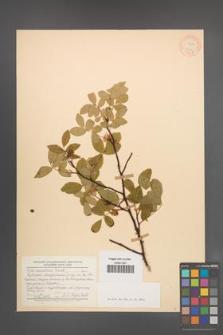 Rosa acicularis [KOR 17502]