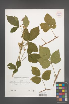 Rubus corylifolius [KOR 54545]