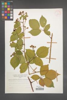 Rubus koehleri [KOR 47621]