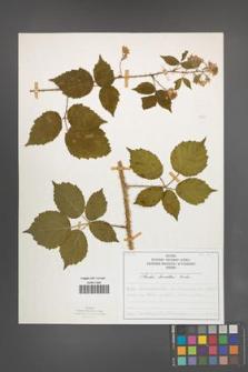 Rubus koehleri [KOR 52525]