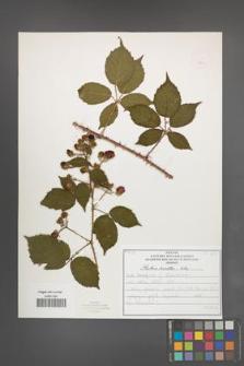 Rubus koehleri [KOR 52524]