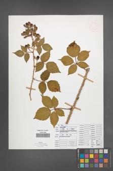 Rubus koehleri [KOR 52533]