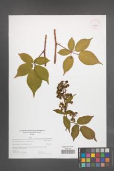Rubus [KOR 43995]