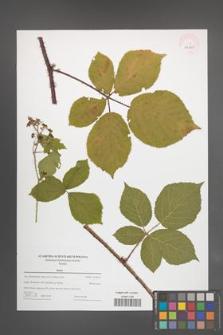 Rubus [KOR 44001]