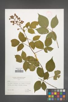 Rubus [KOR 47394]