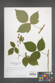 Rubus [KOR 51422]