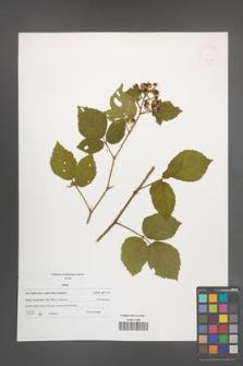 Rubus [KOR 47662]