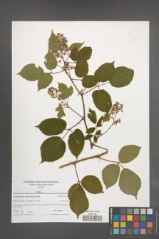 Rubus [KOR 47665]