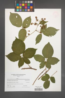 Rubus [KOR 47672]