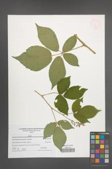 Rubus [KOR 47691]