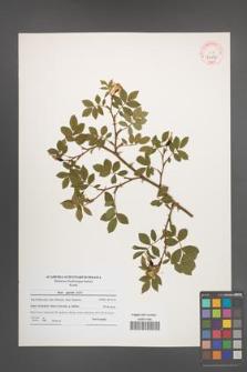 Rosa agrestis [KOR 41171]