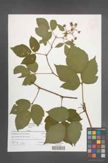 Rubus [KOR 47643]