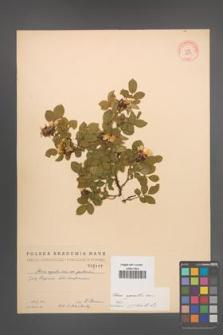 Rosa agrestis [KOR 2117]