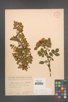 Rosa agrestis [KOR 2115]