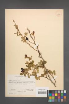 Rosa agrestis [KOR 26689]