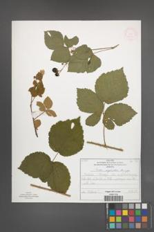 Rubus corylifolius [KOR 52216]