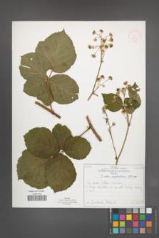 Rubus corylifolius [KOR 52220]