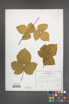 Rubus corylifolius [KOR 52217]