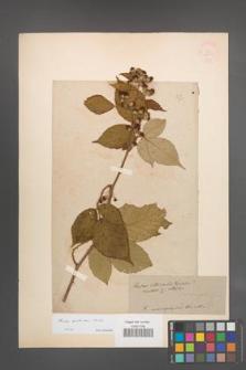 Rubus ambulans [KOR 54609]