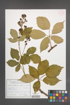 Rubus constrictus [KOR 54613]