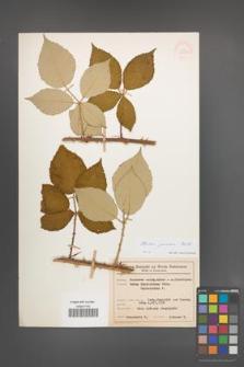 Rubus praecox [KOR 54617]