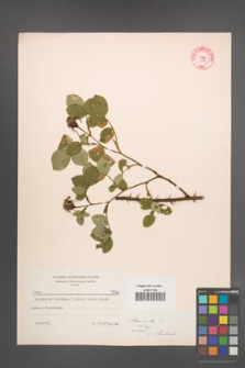 Rosa alba [KOR 7046]