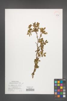 Rosa beggeriana [KOR 40134]