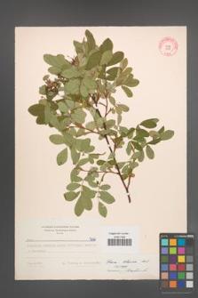 Rosa blanda [KOR 7098]