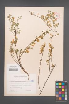 Cytisus ratisbonensis [KOR 5089]