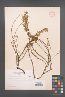 Cytisus ratisbonensis [KOR 5106]