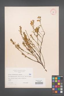 Cytisus ratisbonensis [KOR 5187]