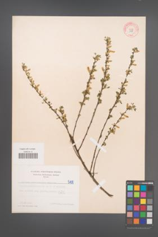 Cytisus ratisbonensis [KOR 5108]
