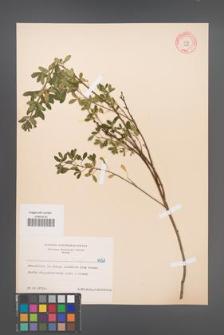 Cytisus ratisbonensis [KOR 6027]