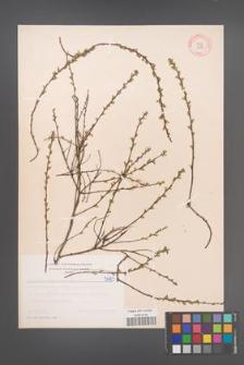 Cytisus ratisbonensis [KOR 5093]