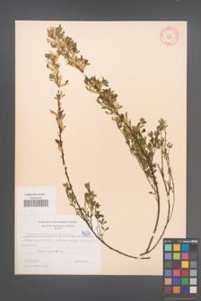 Cytisus ratisbonensis [KOR 4237]