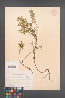 Cytisus ratisbonensis [KOR 4236]