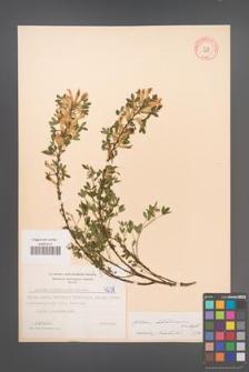 Cytisus ratisbonensis [KOR 4238]